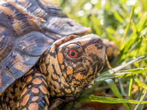 Eastern Box Turtle. Terrapene carolina carolina in the grass of a lawn in Central Park, NYC stock photo
