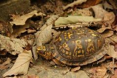 Eastern Box Turtle. An Eastern Box Turtle (Terrapene carolina carolina) hiding between the leaf litter in the Blue Ridge Mountains of North Carolina, USA stock images