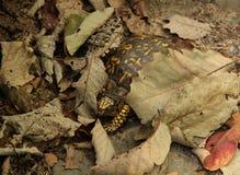 Eastern Box Turtle. An Eastern Box Turtle (Terrapene carolina carolina) hiding between the leaf litter in the Blue Ridge Mountains of North Carolina, USA royalty free stock photography