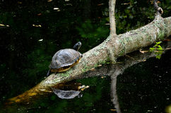 Eastern Box Turtle Terrapene Carolina. Eastern Box Turtle sitting on a tree that has fallen in the pond. You can see reflection of both the tree and the turtle stock photography