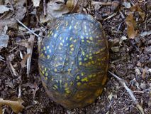 Eastern Box Turtle - top view. Close up top view of an Eastern Box Turtle stock photo