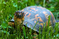 Eastern Box Turtle. Walking on the grass stock photo