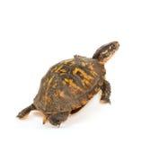 Eastern box turtle. On white background stock photo