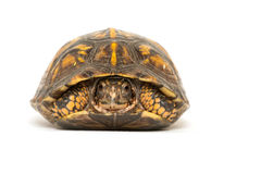 Eastern box turtle. On white background stock images
