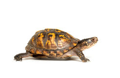 Eastern box turtle. On white background Royalty Free Stock Photography