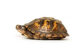 Eastern box turtle. On white background stock photos