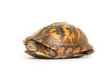 Eastern box turtle. On white background royalty free stock image