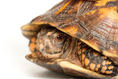 Eastern box turtle. On white background stock photography