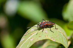 Eastern Boxelder Bug Royalty Free Stock Photo