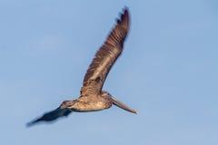Eastern Brown Pelican (Pelecanus occidentalis) in Flight Royalty Free Stock Images