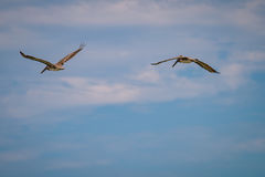 Eastern Brown Pelicans Stock Images