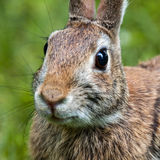 Eastern brown rabbit Stock Photos