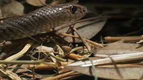 Eastern brown snake close up stock video