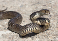 Eastern brown snake (Pseudonaja textilis) Royalty Free Stock Image