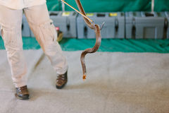 Eastern brown snake at snake show Royalty Free Stock Photo