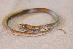 Eastern brown snake at snake show Stock Images