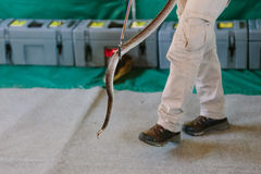 Eastern brown snake at snake show Stock Photo