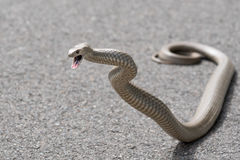 Eastern Brown Snake, Sydney, Australia. The eastern brown snake (Pseudonaja textilis), often referred to as the common brown snake, is a species of venomous Royalty Free Stock Photo