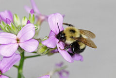 Eastern Bumble Bee. Feeding on phlox nectar Stock Images