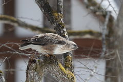 Eastern Buzzard on the branch of tree Stock Photos