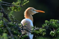 Eastern Caattle Egret. A Eastern Caattle Egret Bubulcus Coromands stands behind a tree with good lighting stock photography