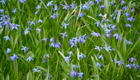 Eastern camas Stock Photography