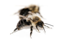 Eastern Carpenter Bee royalty free stock photo