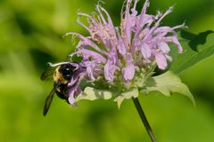Eastern Carpenter Bee. Collecting nectar from a Bee Balm flower. Todmorden Mills, Toronto, Ontario, Canada Royalty Free Stock Images