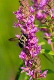 Eastern Carpenter Bee. Collecting nectar from a purple flower. Colonel Samuel Smith Park, Toronto, Ontario, Canada Stock Photos
