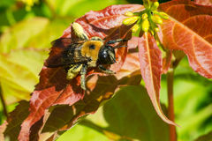 Eastern Carpenter Bee. Resting on the leaf of a Honeysuckle plant. Taylor Creek Park, Toronto, Ontario, Canada Royalty Free Stock Photos