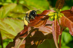 Eastern Carpenter Bee. Resting on the leaf of a Honeysuckle plant. Taylor Creek Park, Toronto, Ontario, Canada Royalty Free Stock Image