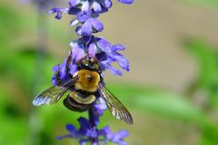 Eastern Carpenter Bee Xylocopa Virginica macro  Stock Photography