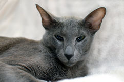 Eastern cat Stock Images