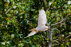 Eastern Cattle Egret. (Bubulcus ibis) flying Stock Photography