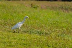 Eastern Cattle Egret bird Stock Images