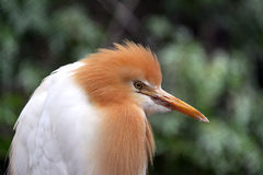 Eastern Cattle Egret in Breeding Plumage Stock Image