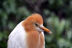 Eastern Cattle Egret in Breeding Season Plumage Royalty Free Stock Images
