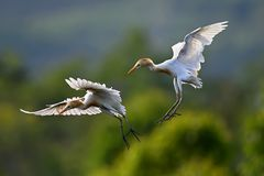 Eastern Cattle Egret Stock Photography