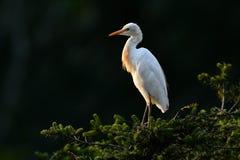 Eastern Cattle Egret Stock Images
