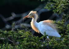Eastern Cattle Egret Royalty Free Stock Images