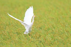 Eastern Cattle egret Royalty Free Stock Image