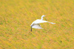 Eastern Cattle egret Royalty Free Stock Photography