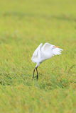 Eastern Cattle egret Stock Images