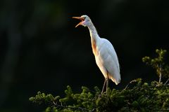 Eastern Cattle Egret Royalty Free Stock Photo
