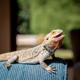 Eastern Centralian Bearded Dragon suns its self on a couch in a home stock images