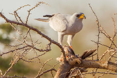 Eastern Chanting Goshawk With Black-faced Sandgrouse. An Eastern Chanting Goshawk with its prey of Black-faced Sandgrouse in a tree in Kenya's Meru National Park Stock Photo