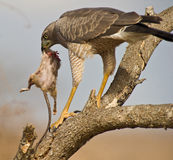 Eastern Chanting-goshawk with his prey. A juvenile Eastern Chanting-goshawk has managed to hunt a large rat-like prey Royalty Free Stock Photos
