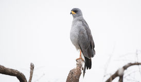 Eastern Chanting Goshawk Melierax poliopterus on a Tree Limb Royalty Free Stock Images