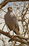 Eastern Chanting-Goshawk perching on tree. An adult Eastern Chanting-Goshawk perches on a branch in Tsavo national park of Kenya while observing attentively the stock image