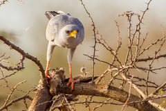 Eastern Chanting Goshawk With Prey royalty free stock image